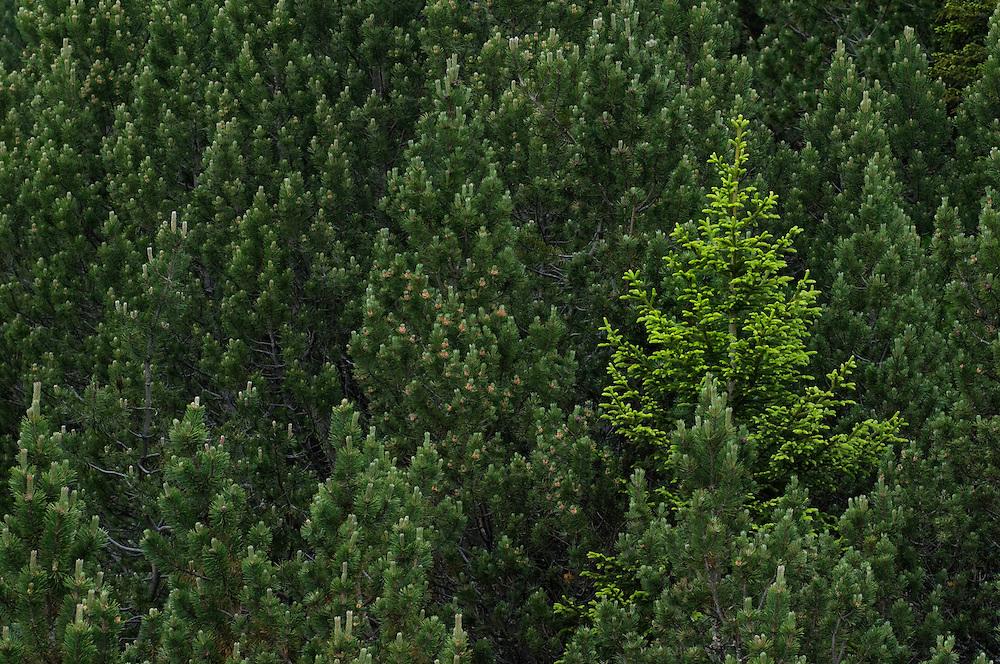 European larch tree, Larix decidua, near Malbun, Lichtenstein