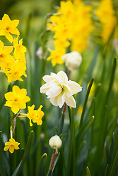 Narcissus 'Baby Boomer' with Narcissus 'Rose of May'