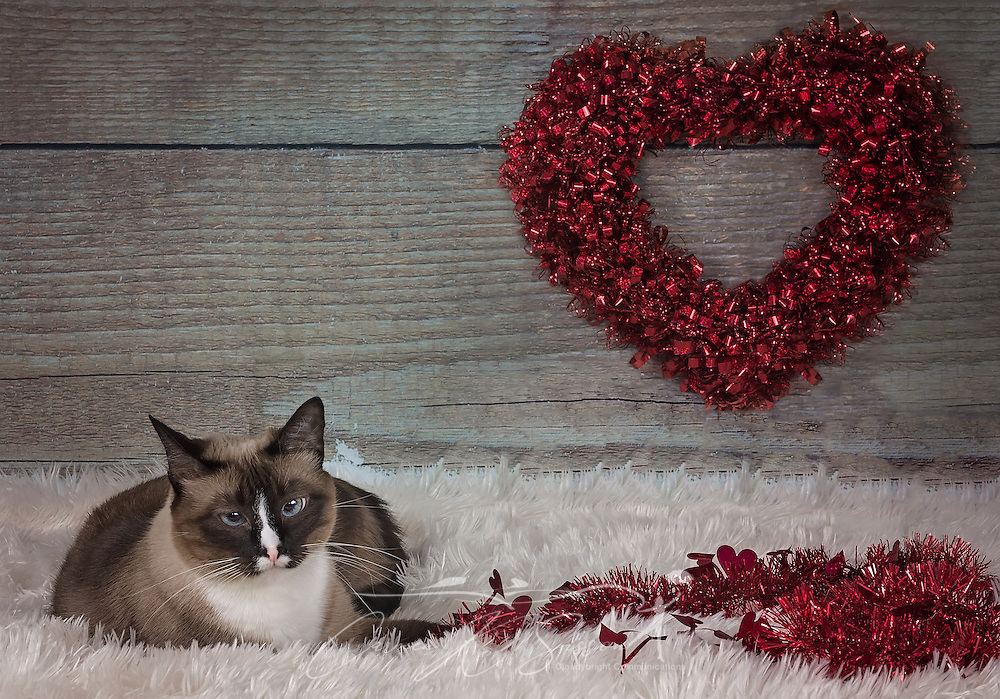 Twinkie, a three-year-old Siamese cat, poses for a Valentine's Day portrait, Feb. 14, 2017. (Photo by Carmen K. Sisson/Cloudybright)
