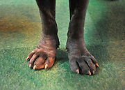 London News pictures. 10/03/11. The feet of Coz aged 2 and a half a Neapolitan Mastiff on an exhibitors stand. Exhibitiors and their dogs at Crufts 2011 held at The National Exhibition Centre in Birmingham today (Thurs). The show runs from 10 - 13 March 2011 Picture Credit should read Stephen Simpson/LNP