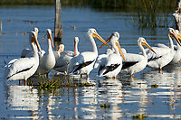 Group of American white pelicans (Pelecanus erythrorhynchos) on Lake Chapala, Jalisco, Mexico