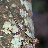 Iguanid lizard. Suriname, South America.