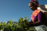 Sri Lanka. Tea plantation workers at the start of a days work. Dambetenne estate.