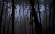 Dawn, Monterey Pines in Fog, Monterey, California