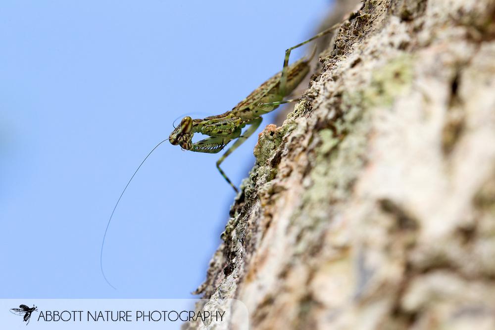 Bark Mantis (Liturgusa sp.)<br /> Belize: Cayo District<br /> Green Hills Butterfly Ranch<br /> 24-Sept-2013<br /> J.C. Abbott