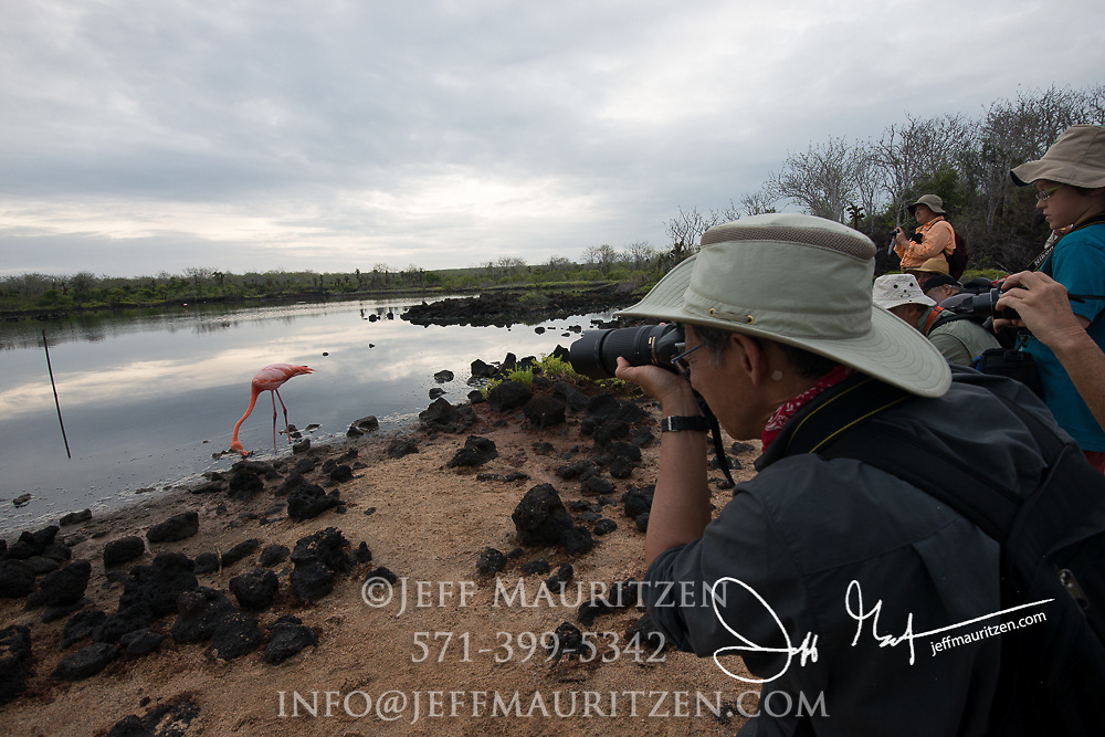 Visitors photograph an American flamingo as it feeds in a brackish lagoon at Cerro Dragon in Santa Cruz island in the Galapagos archipelago of Ecuador.