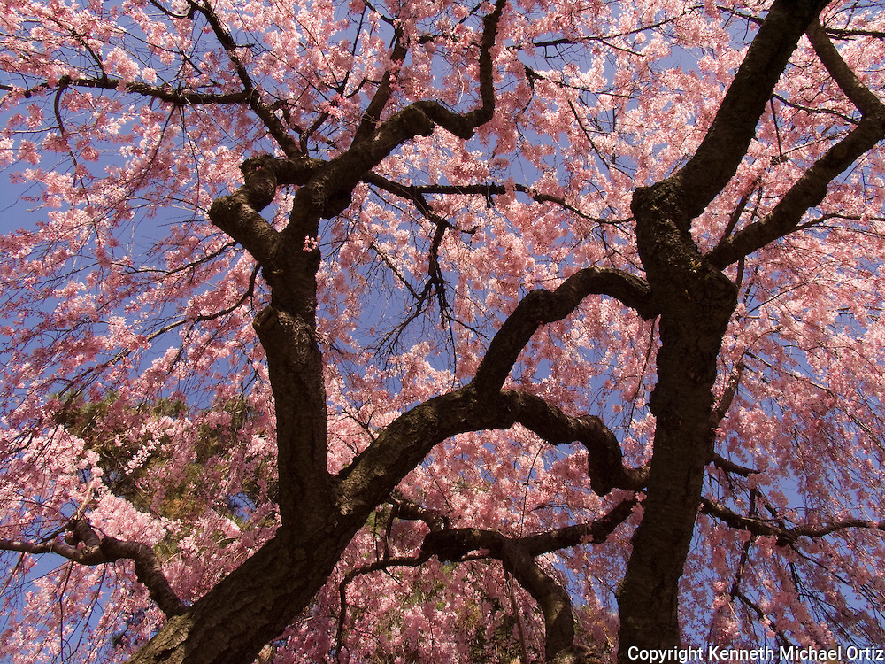 Cherry Blossom Trees in the Spring at the Brooklyn Botanical Gardens in New York.