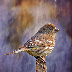 A Female Finch Stands Perched By The Dance Of Violet Lights