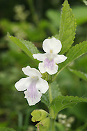 BASTARD BALM Melittis melissophyllum (Lamiaceae) Height to 60cm. Attractive, hairy and strong-smelling perennial that grows along woodland rides and in shady hedgerows and areas of scrub. FLOWERS are 25-40mm long, fragrant, mainly white and variably adorned with pink or purple, the length of the corolla tube greater exceeding that of the calyx; borne in whorls (May-Jul). FRUITS are nutlets. LEAVES are ovate, toothed and stalked. STATUS-Local and rather scarce in S England (mainly the SW) and S Wales; scarce or absent elsewhere.