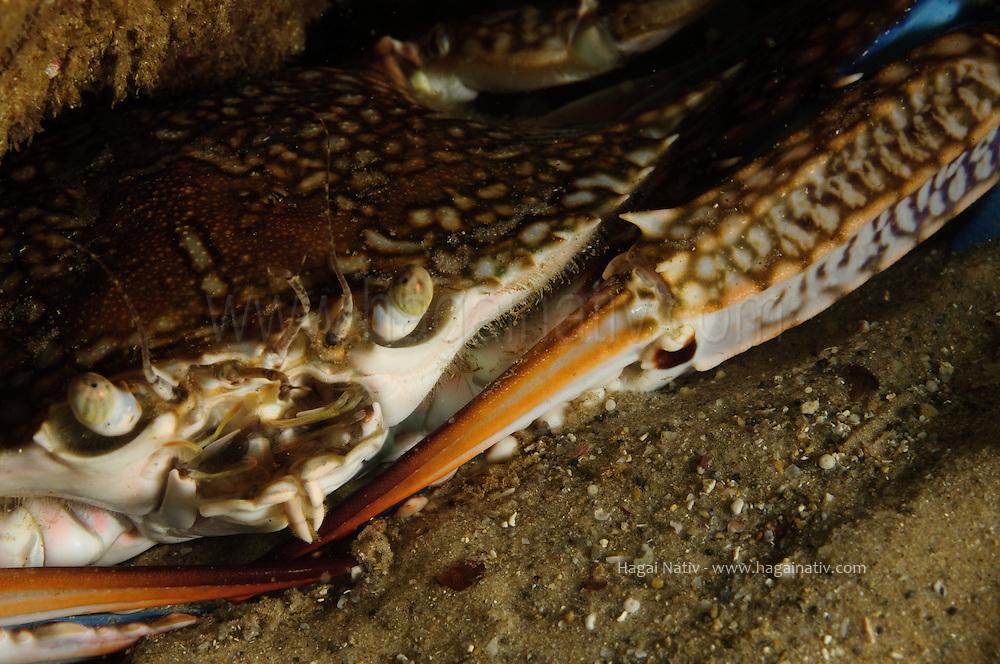 Portunus pelagicus, blue swimmer crab at the mediterranean