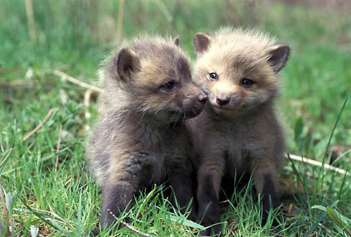 Red Fox, (Vulpus fulva) Pair of young kits explore area near den. Spring. Captive Animal.