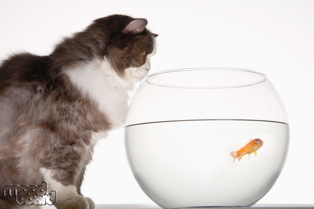 Cat looking at goldfish in a fishbowl side view