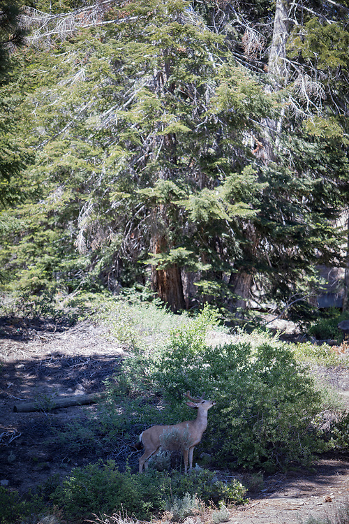 The Eastern Sierra's towns of Mammoth Lakes, June Lakes and surrounding areas weathered a historical and record producing winter snowfall that carried over into the summer. Deer forage in town.