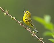 Prairie Warbler (Dendroica discolor), male, singing (Indiana)