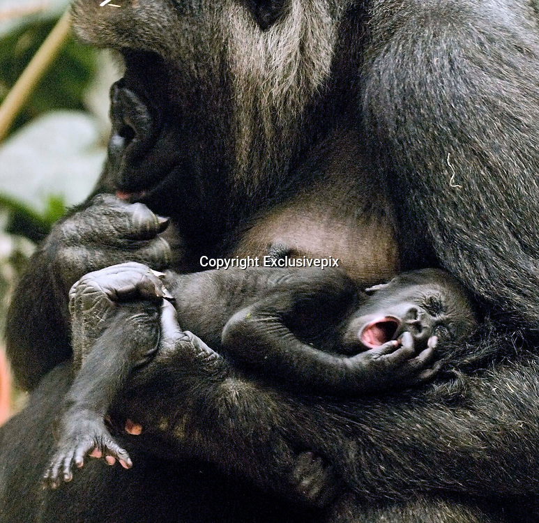 28/03/2010- Madrid<br /> These Stunning Pictures Taken in Madrid Zoo , by Photographer Daniel Hernanz shows Taken in Madrid Zoo , Being a new mother can be hard at times and its not just Human mothers that it takes its toll on, it seems Gorilla babies can be just as demanding when they are upset as these stunning 3 pictures show. <br /> <br /> Photo Shows:The mother Gorilla turns her head as baby starts to cry.<br /> &copy;Daniel Hernanz/Exclusivepix