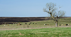 Recently burned prairie seen in the background is contrasted with unburned prairie grass in this photo taken of the Red House Pasture located in the Tallgrass Prairie National Preserve. Prairie grasses are burned in the spring to help maintain a healthy tallgrass prairie ecosystem and prepare the land for cattle grazing. The Tallgrass Prairie National Preserve is co-managed with The Nature Conservancy. Tallgrass Prairie National Preserve is the only unit of the National Park Service dedicated to the preservation of the tallgrass prairie ecosystem. The Tallgrass Prairie National Preserve is co-managed with The Nature Conservancy. The 10,894-acre preserve is located in the Flint Hills of Kansas in Chase County near the towns of Strong City and Cottonwood Falls.