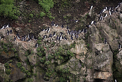 USA ALASKA  ST GEORGE ISLAND 6JUL12 - A variety of seabirds nest on the western cliffs of St. George island in the Bering Sea, Alaska...The Pribilof islands are a protected breeding ground for the fur seals and a prime birdwatching attraction.....Photo by Jiri Rezac / Greenpeace....© Jiri Rezac / Greenpeace