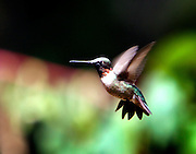 September 7, 2013 - The Strawberry Plains Audubon Center Hummingbird Migration Celebration is running Sept. 6-8, 2013 (9am-5pm). Guests to the festival can experience hummingbird viewing, banding, and releasing, nature walks in the 2600-Acre Nature Sanctuary, arts and crafts and many other activities. <br /> <br /> Come Fly With Me~ Tiny Hummingbirds make their way south for winter, through the serene countryside at Strawberry Plains near Holly Springs, Mississippi.