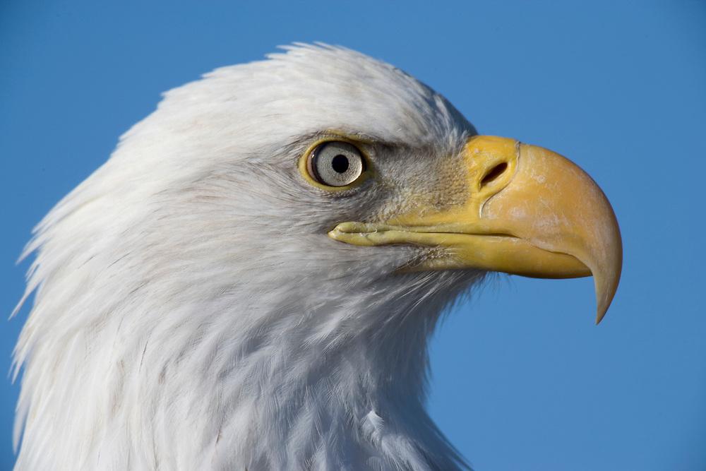 USA, Alaska, Homer, Close-up portrait of Bald Eagle (Haliaeetus leucocephalus) resting along Kachemak Bay on winter morning