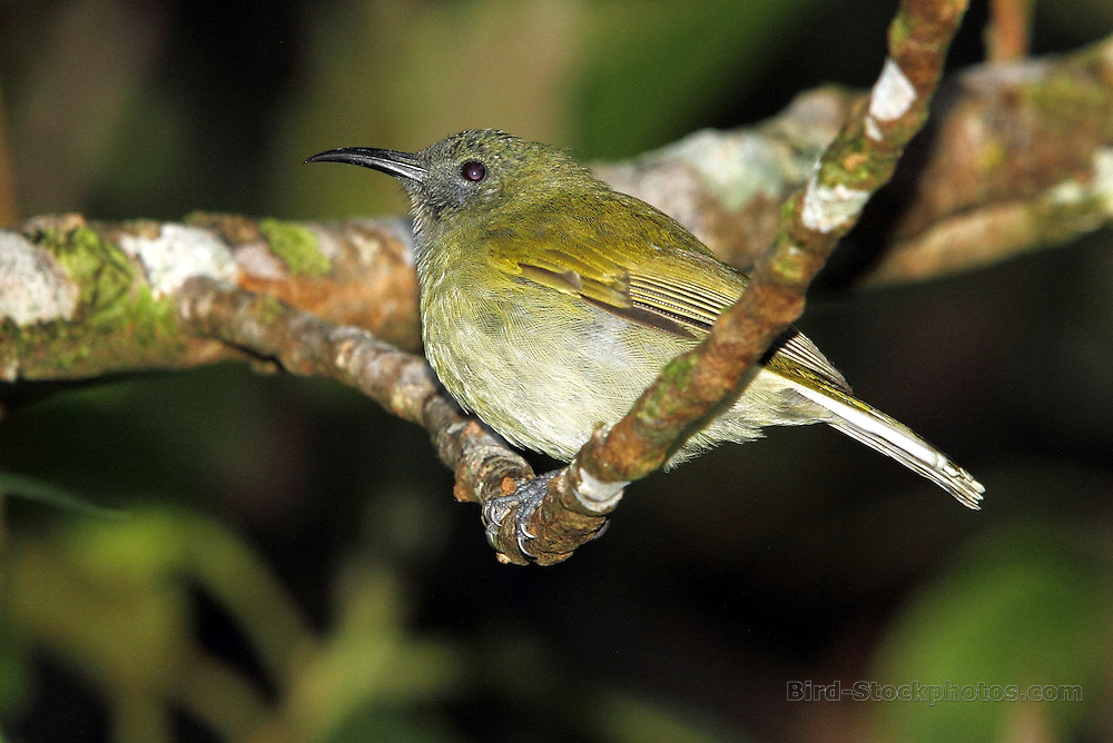 Scaly-crowned Honeyeater, Lichmera lombokia, Golo, Lusang Flores, Indonesia, by Adam Riley