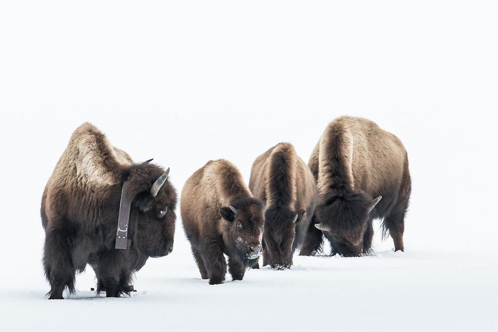 Bison bison, Yellowstone National Park, Wyoming
