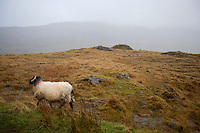Sheep walking through foggy meadow