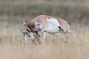 Fighting Pronghorn Bucks (Antilocapra americana), Western Montana