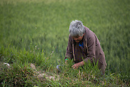 A woman harvests wheat with a curved tool in Sopsokha Village, Punakha District, Bhutan