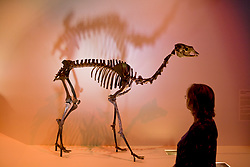 Stock photo of a woman looking at a Paleolama (Camel) skeleton at the new Paleontology Hall at the Houston Museum of Natural Science
