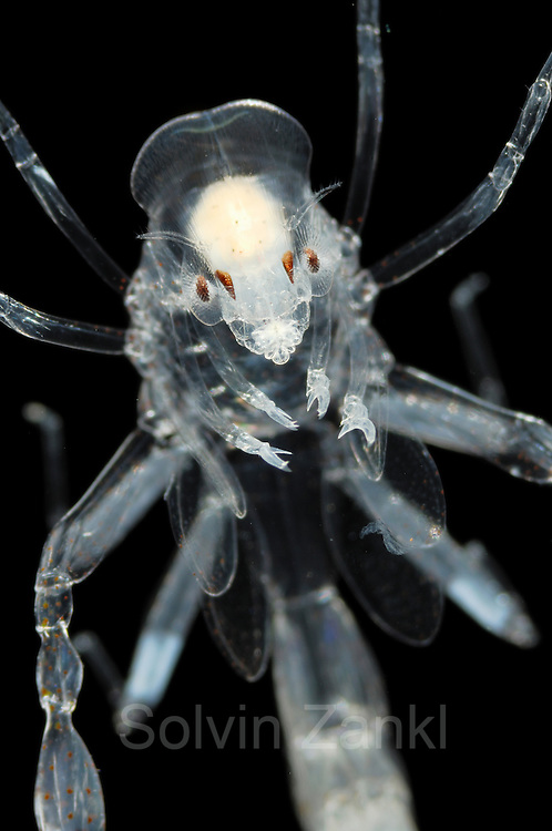 Phronima, the pram bug amphipod, is a small, translucent deep-sea hyperiid amphipod of the family Phronimidae. It resembles a shrimp with a head, eyes, jaws and clawed arms. Phronima are only seen in the wild at great depths, usually by submarine crews, and are usually only about 2.5 cm (1 inch) long. Phronima are carnivorous; they eat small plankton. <br /> <br /> The eyes of the adult Phronima are a further feature of wonder in an animal already beset with extraordinary habits and adaptations. It has compound eyes, like most crustacea and insects, but unlike most it has four, not two. Each pair of eyes is situated on the side of the head. The outer and inner eye of each pair are actually in contact with each other. The outer eye is surrounded by a lozenge-shaped ball of eye-facet lenses commanding an enormous field of view - perhaps 270 degrees. One pair of eyes keeps a constant watch on the world ahead, whereas the other pair views the surroundings through the transparent walls of its temporary home. <br /> <br /> Phronima served as an inspiration for the design of the Xenomorphs of the Alien film series - Phronima sedentaria: A common hyperiid amphipod. It travels in a &quot;house&quot; that is a hollowed-out salp test Phronima sp [size of single organism: 2,5 cm] | Die bekannte Titel-Figur aus Ridley Scotts Kultfilm &quot;Alien&quot; hat als &uuml;ber 2 m gro&szlig;es Monster die Zuschauer erschauern lassen - und basiert doch nur auf diesem hundertmal kleineren Tiefsee-Krebschen. Der &quot;Kinderwagen-Krebs&quot; (engl. pram bug amphipod) legt seine Eier in einer ausgeh&ouml;hlten Salpe ab, die er dann mit seinen langen Beinen &uuml;ber sich h&auml;lt und beh&uuml;tet.