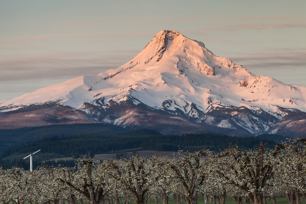 Sunrise light warms the summit snows on Oregon's Mt. Hood, as an blossoming apple orchard waits to welcome the sun's heat to the valley below.