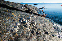 Norway, Randaberg. Common limpets.