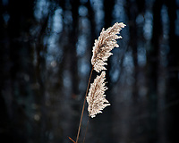 Tall Grass at the Sourland Mountain Preserve. Winter Nature in New Jersey. Image taken with a Nikon D3x camera and 80-400 mm VR lens.