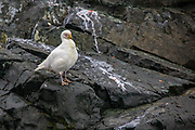 Snowy sheathbill (Chionis alba or Chionis albus). This stocky bird is a scavenger. It steals food from other birds and will also take eggs, small chicks, faeces, and carrion. The bare skin on its face and the cover on its bill (which gives the species its name) are adaptations for keeping clean while eating messy food. It breeds on the Antarctic coast and subantarctic islands, migrating to Argentina and the Falklands for winter. It is the only Antarctic bird to feed exclusively on land, rather than in the sea. It is related to shorebirds, such as plovers. Photographed on Cuverville Island, Antarctica in February