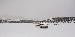 Farm animals graze in the snow in Heber, Utah
