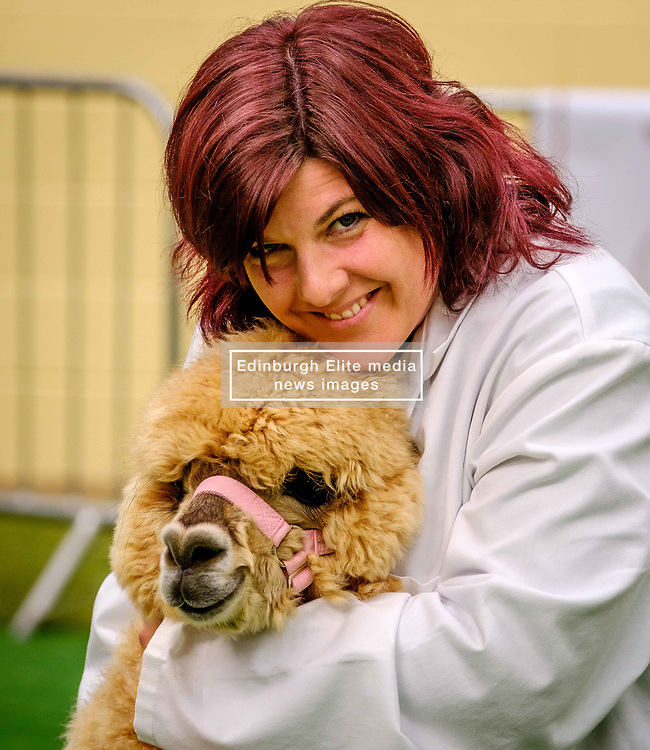 Lanark Scotland 15th April 2017:  The Second Scottish Alpaca Championship, organised by the Scottish Alpaca Group, took place on Saturday 15th April 2017 at Lanark Auction Market. The event had a record entry of 140 alpacas being shown and judged.<br /> An Alpaca in the show ring with it's handler.<br /> <br /> <br /> (c) Andrew Wilson | Edinburgh Elite media