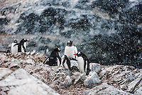 A breeding colony of Gentoo Penguins at Cuverville receives a dusting of snowfall.  Antarctic Peninsula, Antarctica