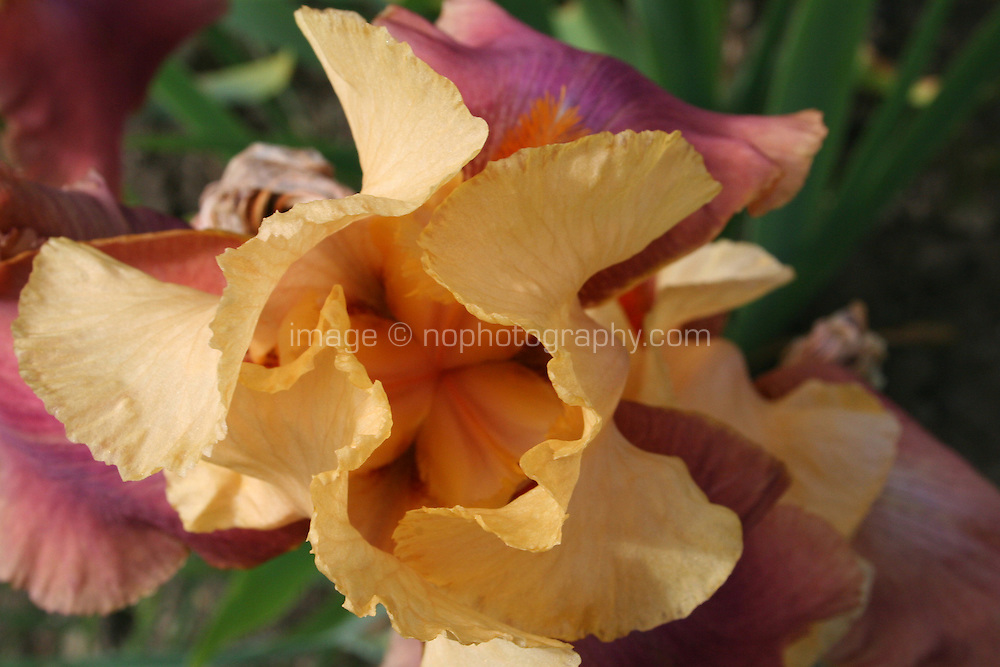 orange and yellow Iris, Iridaceae, Adobe Rose