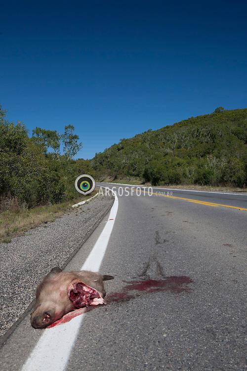 Atropelamento de animal (Capivara) / Dead animal (Capivara) on the highway, Cacapava do Sul,  Brazil. 2013