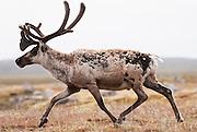 CANADA, Nunavut.Barren-ground caribou (Rangifer tarandus groenlandicus) bull