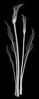 X-ray image of a pink calla lily cluster (Zantedeschia rehmannii, white on black) by Jim Wehtje, specialist in x-ray art and design images.