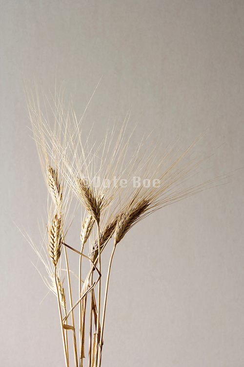 bundled wheat heads
