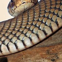 Alberto Carrera, Mozambique Spitting Cobra, Naja mossambica,  Bio Diversity Centre, Kasane, Chobe National Park, Botswana, Africa