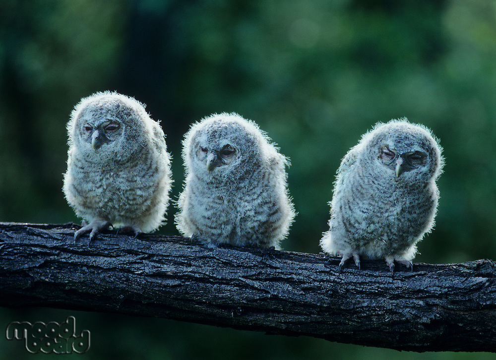 Three owlets on bough
