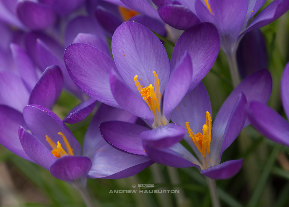 Purple crocus in bloom, Mount Tabor Park, Portland, Oregon, USA.