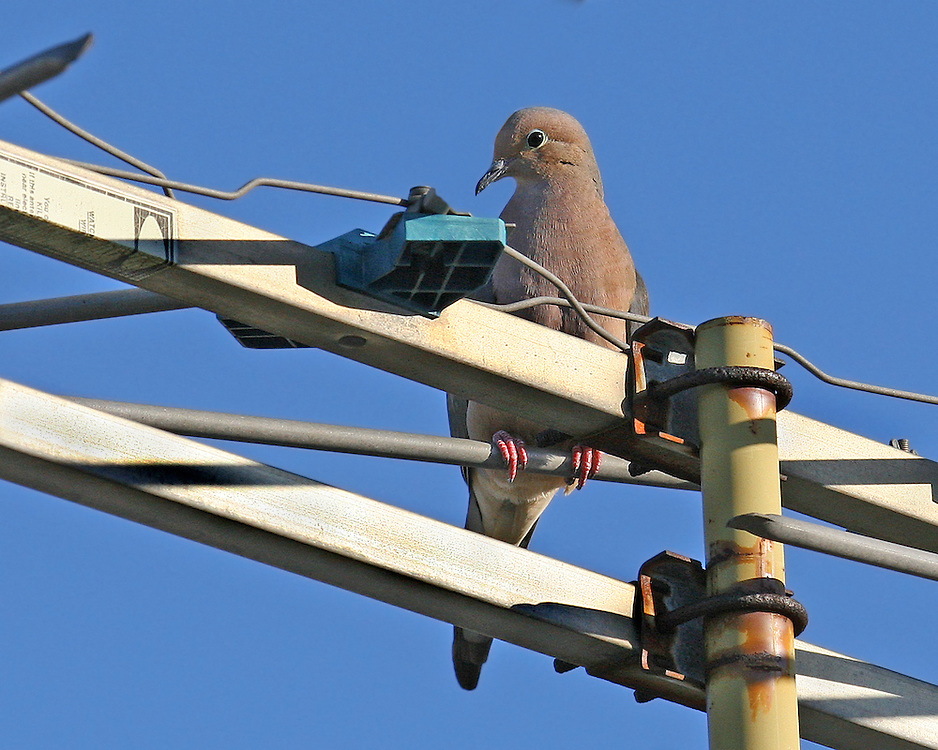 A mourning dove resting on an extinct TV antena.