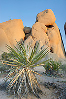 Jumbo Rocks and Mohave Yucca <br /> (Yucca schidigera) Joshua Tree National Park California