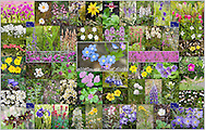 "Collage of fifty-four different Alaska wildflowers. It comes with its own 8.5""x11"" numbered photocopy with a table on the flipside identifying each wildflower. (36.2""x23.2"")"