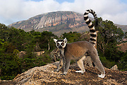 Ring-tailed lemur (Lemur catta) near Andringitra mountains. South-central MADAGASCAR <br /> THIS GENUS CONTAINS A SINGLE SPECIES<br /> Males and females look alike. Medium sized lemurs, length of 950-1,100mm and weight: 2.3-3.5kg's. They have long alternate black and white ringed tails and adopt a horizontal body posture generally moving quadrupedally on the ground. Ring-tailed lemurs are diurnal and are the most terrestrial of all Malagasy primates. This species has been studied since the 1960's and more information has been gathered on it than any other Malagasy primate. Their diet is very varied and consists of fruit, leaves, flowers, bark, sap and occasionally invertebrates. They also occur in larger groups than any other Malagasy primate - from 3 to around 25. There is a well-defined and maintained heirachy within the troop and females are dominant with the alpha female forming the focal point for the group. Males also have their own heirachy. Scent marking is important for demarking their territory. Young are born in August and September. Only 30% reach adulthood.<br /> HABITAT &amp; DISTRIBUTION: Spiny forest, dry scrub, deciduous forest and gallery forest are used throughout the majority of its range. At Andringitra Massif they are found on exposed rocks. They are found in south and south-western Madagascar from Tolagnaro in the se to just south of Morondava on the west coast. Generally found at lower elevations except in Andringitra Massif where it has been recorded above the treeline to altitudes in excess of 2,600 meters.<br /> THREATENED SPECIES: The two main habitat types preferred by Ring-tailed lemurs, dense Didieraceae/Euphorbiaceae bush and riverside gallery forest, are already restricted and known to be diminishing alarmingly as a result of fires, overgrazing and wood-harvesting for charcoal production. They are still hunted for food and trapped to be kept as pets.<br /> ENDEMIC TO MADAGASCAR