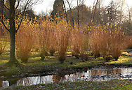 Salix alba 'Britzensis' next to a stream in The Savill Garden, Windsor Great Park, Windsor, Berkshire, UK